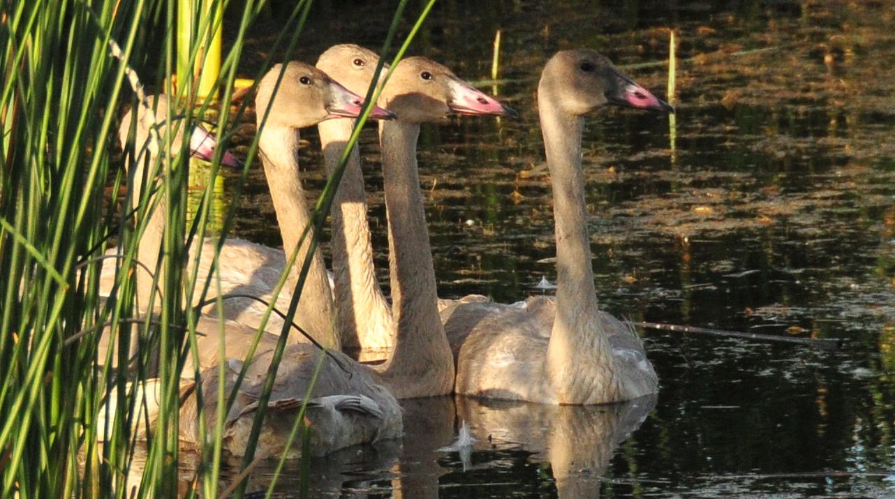 Biden reinstates bird protections gutted under Trump